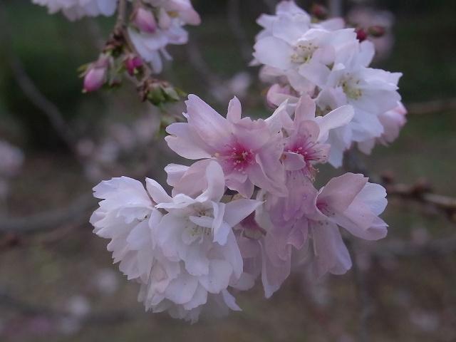 十月桜~1.JPG
